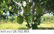 Купить «Video shot of ripe Jackfruit in an orchard in Lam Dong area, Vietnam», видеоролик № 28162493, снято 5 января 2017 г. (c) Алексей Кузнецов / Фотобанк Лори