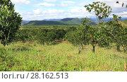 Купить «Panoramic video shot of Jackfruit plantations in the highlands of Eastern Vietnam», видеоролик № 28162513, снято 5 января 2017 г. (c) Алексей Кузнецов / Фотобанк Лори