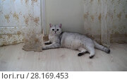 Купить «white Scottish pristine purebred cat lying on floor in room», видеоролик № 28169453, снято 14 марта 2018 г. (c) Володина Ольга / Фотобанк Лори