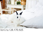 Купить «Two funny fluffy white cubs of rabbit with black ears are on bed in room», фото № 28170925, снято 20 ноября 2015 г. (c) Losevsky Pavel / Фотобанк Лори