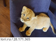 Купить «Lion calf looks up and stands on soft armchair indoor, top view», фото № 28171365, снято 13 июля 2016 г. (c) Losevsky Pavel / Фотобанк Лори