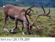 Купить «Reindeer (Rangifer tarandus) bull reindeer with coating of 'velvet' on antlers in summer, reintroduced Cairngorm Reindeer Herd, Cairngorms National Park, Speyside, Scotland, July 1997», фото № 28178289, снято 15 августа 2018 г. (c) Nature Picture Library / Фотобанк Лори