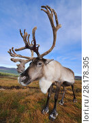Купить «Reindeer (Rangifer tarandus) bull reindeer with antlers in velvet, reintroduced Cairngorm Reindeer Herd, Cairngorm National Park, Speyside, Scotland, October», фото № 28178305, снято 15 августа 2018 г. (c) Nature Picture Library / Фотобанк Лори