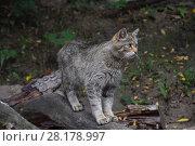 European wildcat standing side view close up. Стоковое фото, фотограф Anton Eine / Фотобанк Лори