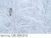 Купить «Ural owl (Strix uralensis) perched in snow covered tree,  Oulanka National Park, Finland, February», фото № 28184013, снято 25 сентября 2018 г. (c) Nature Picture Library / Фотобанк Лори
