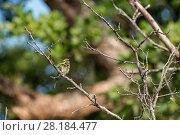 Купить «Rainbow bee-eaters (Merops ornatus) perched with feathers fluffed up,  Daintree , Queensland, Australia», фото № 28184477, снято 18 января 2019 г. (c) Nature Picture Library / Фотобанк Лори
