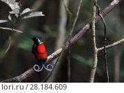 Купить «Wilson's bird-of-paradise (Cicinnurus respublica), Waigeo, Raja Ampat, Western Papua, Indonesian New Guinea», фото № 28184609, снято 27 марта 2019 г. (c) Nature Picture Library / Фотобанк Лори