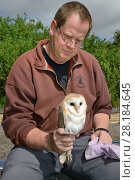 Купить «Barn owl (Tyto alba) chick being held after ringing  during a licensed nest box survey, Suffolk, UK, July. Model released.», фото № 28184645, снято 23 марта 2018 г. (c) Nature Picture Library / Фотобанк Лори