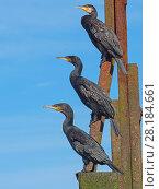 Купить «RF - Cormorants (Phalacrocorax carbo) group of three resting on the Cromer Beach Groynes, Norfolk, England, UK, September.», фото № 28184661, снято 19 августа 2018 г. (c) Nature Picture Library / Фотобанк Лори