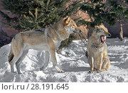 Купить «Eurasian wolf (Canis lupus lupus). Pair of wolves on snow», фото № 28191645, снято 18 марта 2018 г. (c) Валерия Попова / Фотобанк Лори