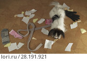 Купить «Dog Papillon arranged a pogrom in house scattered things and tore the paper», фото № 28191921, снято 19 октября 2018 г. (c) Юлия Машкова / Фотобанк Лори