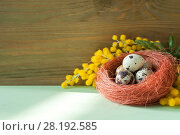 Купить «Easter festive background. Easter eggs in the nest near the mimosa flowers, free space for festive Easter text», фото № 28192585, снято 27 февраля 2018 г. (c) Зезелина Марина / Фотобанк Лори