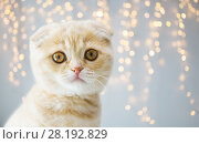 Купить «close up of scottish fold kitten», фото № 28192829, снято 19 июля 2015 г. (c) Syda Productions / Фотобанк Лори