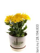 Купить «Жёлтая хризантема в горшке», фото № 28194833, снято 19 августа 2013 г. (c) Литвяк Игорь / Фотобанк Лори