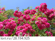 Купить «Pink roses on blue sky background. Summer landscape with blooming roses.», фото № 28194925, снято 15 июля 2017 г. (c) Ирина Носова / Фотобанк Лори