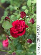 Купить «Красная роза в саду», фото № 28194933, снято 22 июля 2017 г. (c) Ирина Носова / Фотобанк Лори