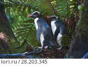 Купить «Fiordland crested penguins (Eudyptes pachyrhynchus) in dense coastal forest, Lake Moeraki, South Island, New Zealand, November, threatened species», фото № 28203345, снято 17 июня 2019 г. (c) Nature Picture Library / Фотобанк Лори