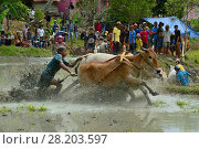 Купить «Zebu cattle race through mud during celebrations after rice harvest, Sumatra. July 2016.», фото № 28203597, снято 24 апреля 2018 г. (c) Nature Picture Library / Фотобанк Лори