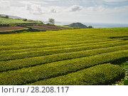 Купить «Tea plantations on the Atlantic coast, the island of Sao Miguel, Azores», фото № 28208117, снято 6 мая 2012 г. (c) Юлия Бабкина / Фотобанк Лори