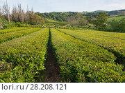 Купить «Tea growing. Tea fields on the island of Sao Miguel, Azores», фото № 28208121, снято 6 мая 2012 г. (c) Юлия Бабкина / Фотобанк Лори