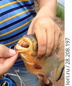 Рыбак поймал пиранью. Стоковое фото, фотограф Скалдина Мария / Фотобанк Лори
