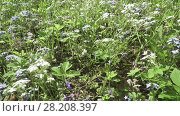 Купить «Forget-me-not. A background from many beautiful Myosotis arvensis», видеоролик № 28208397, снято 19 января 2010 г. (c) Куликов Константин / Фотобанк Лори