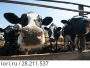 Купить «Cows are in stable peek through fences in farm at sunny day, close up», фото № 28211537, снято 7 июля 2015 г. (c) Losevsky Pavel / Фотобанк Лори