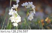 Купить «Narcissus in Amaryllidaceae (amaryllis) family», видеоролик № 28216597, снято 28 февраля 2018 г. (c) BestPhotoStudio / Фотобанк Лори
