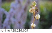 Купить «Nicandra physalodes (shoo-fly plant)», видеоролик № 28216609, снято 2 марта 2018 г. (c) BestPhotoStudio / Фотобанк Лори