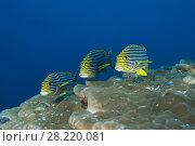 Купить «Tree Oriental Sweetlips (Plectorhinchus vittatus) over coral reef», фото № 28220081, снято 23 апреля 2019 г. (c) Некрасов Андрей / Фотобанк Лори