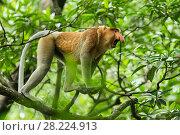 Купить «Proboscis monkey (Nasalis larvatus) male calling, Tarakan, Indonesia», фото № 28224913, снято 15 декабря 2018 г. (c) Nature Picture Library / Фотобанк Лори