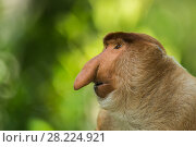 Купить «Proboscis monkey (Nasalis larvatus) profile of male animal. Tarakan, Indonesia», фото № 28224921, снято 14 августа 2018 г. (c) Nature Picture Library / Фотобанк Лори