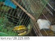 Купить «Pair of juvenile Asian palm civets (Paradocurus hermaphroditus) in a cage, for sale at Denapasar market, Bali.», фото № 28225005, снято 19 июня 2018 г. (c) Nature Picture Library / Фотобанк Лори