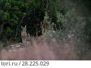 Купить «Iberian lynx (Lynx pardinus+ Sierra Morena, Spain October.», фото № 28225029, снято 19 июля 2018 г. (c) Nature Picture Library / Фотобанк Лори