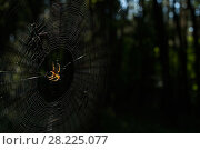 Купить «Garden spider (Araneus diadematus) makes its web within the Chernobyl Exlusion Zone. It is thought the spiders make deforemd webs due to the radiation. Ukraine. September», фото № 28225077, снято 26 апреля 2018 г. (c) Nature Picture Library / Фотобанк Лори