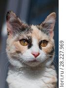 Купить «Portrait of a color cat», фото № 28227969, снято 16 марта 2018 г. (c) Владимир Иванов / Фотобанк Лори