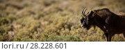 Купить «Wild bull grazing on grassland», фото № 28228601, снято 19 октября 2018 г. (c) Wavebreak Media / Фотобанк Лори