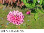 Купить «Розовые пионы», эксклюзивное фото № 28228785, снято 22 сентября 2012 г. (c) Юрий Морозов / Фотобанк Лори