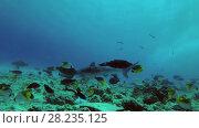 Купить «Tiger Shark swim over reef», видеоролик № 28235125, снято 27 марта 2018 г. (c) Некрасов Андрей / Фотобанк Лори