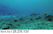 Купить «Tiger Shark swim over reef», видеоролик № 28235133, снято 27 марта 2018 г. (c) Некрасов Андрей / Фотобанк Лори