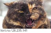 Купить «Angry hissing cat at winter», видеоролик № 28235141, снято 16 марта 2018 г. (c) Илья Шаматура / Фотобанк Лори