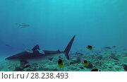 Купить «Tiger Shark cruise over bottom», видеоролик № 28238493, снято 27 марта 2018 г. (c) Некрасов Андрей / Фотобанк Лори