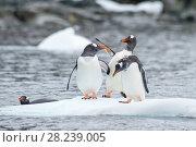 Купить «Gentoo Penguins on the ice», фото № 28239005, снято 25 февраля 2018 г. (c) Vladimir / Фотобанк Лори