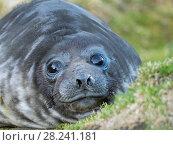 Southern elephant seal (Mirounga leonina), weaned pup on beach. Antarctica, Subantarctica, South Georgia, October. Стоковое фото, фотограф Martin Zwick / age Fotostock / Фотобанк Лори