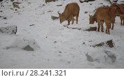 Купить «Barbary sheep (Ammotragus lervia)», видеоролик № 28241321, снято 28 декабря 2017 г. (c) BestPhotoStudio / Фотобанк Лори