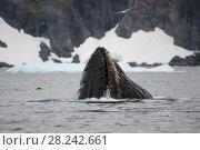 Купить «Humpback Whale feeding krill», фото № 28242661, снято 9 марта 2018 г. (c) Vladimir / Фотобанк Лори