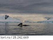 Купить «Humpback Whale feeding krill», фото № 28242669, снято 9 марта 2018 г. (c) Vladimir / Фотобанк Лори