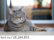 Купить «Счастливый взрослый кот скоттиш-страйт лежит на полу комнаты», фото № 28244853, снято 1 апреля 2018 г. (c) Григорий Писоцкий / Фотобанк Лори