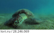 Купить «Green Sea Turtle (Chelonia mydas) eats the sea grass on a sandy bottom, Red sea, Marsa Alam, Abu Dabab, Egypt», видеоролик № 28246069, снято 25 октября 2017 г. (c) Некрасов Андрей / Фотобанк Лори
