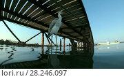 Купить «Arabian Reef-egret or Western Reef Heron (Egretta gularis schistacea) sits on a pier and looks on the school of Hardyhead Silverside (Atherinomorus lacunosus) - underwater split level, Red sea, Marsa Alam, Abu Dabab, Egypt», видеоролик № 28246097, снято 25 октября 2017 г. (c) Некрасов Андрей / Фотобанк Лори
